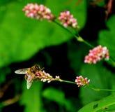 Biene auf Blumenabschluß oben Lizenzfreie Stockfotos