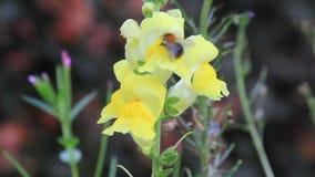 Biene auf Blumengelblöwenmaul stock footage