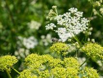 Biene auf Cicuta blossomin Blume Lizenzfreie Stockbilder