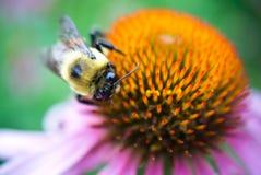 Biene auf Coneflower Stockfoto