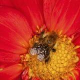 Biene auf Dahlia Flower Stockfoto