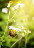 Biene auf dem Blumengebiet Stockfotos