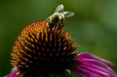 Biene auf dem coneflower Lizenzfreie Stockbilder