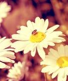 Biene auf dem Gänseblümchen Lizenzfreie Stockbilder