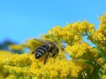 Biene auf den Blumen Stockfotografie