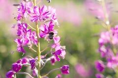 Biene auf den Blumen von Weide-Kraut Iwan-Tee, Fireweed, Epilobiumblume auf einem Gebiet Junge Erwachsene lizenzfreie stockfotos