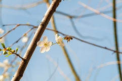 Biene auf den Frühlingsblumen der Mandel stockfoto