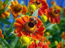 Biene auf der Blume Stockfotografie