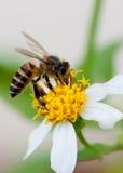 Biene auf der Blume. stockfotografie