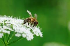Biene auf der Blume Lizenzfreie Stockfotos