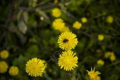 Biene auf der Blume Lizenzfreies Stockfoto