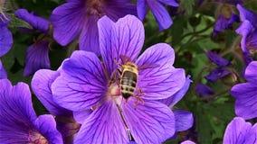 Biene auf der Blume stock video footage