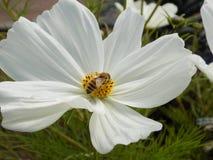 Biene auf der Blume 2 lizenzfreies stockfoto