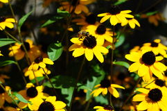 Biene auf der gelben Blume Stockbilder