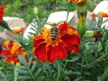 Biene auf der marygold Blume stockfotos
