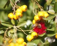 Biene auf der roten Blume Lizenzfreies Stockfoto