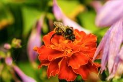 Biene auf der roten Blume Stockfoto