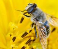 Biene auf der Sonnenblume Lizenzfreies Stockbild
