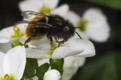Biene auf der weißen Blume Lizenzfreies Stockbild