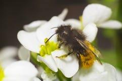 Biene auf der weißen Blume Stockbilder