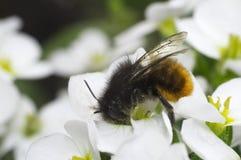 Biene auf der weißen Blume Lizenzfreies Stockfoto