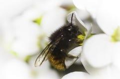 Biene auf der weißen Blume Stockbild