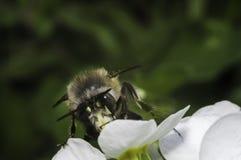 Biene auf der weißen Blume Lizenzfreie Stockfotografie