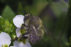 Biene auf der weißen Blume Lizenzfreie Stockfotos