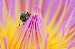 Biene auf die Oberseite von Lotos Stockbild