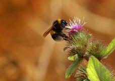Biene auf Distel Stockfoto