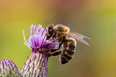 Biene auf Distel Lizenzfreie Stockfotos