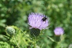 Biene auf Distel Lizenzfreies Stockfoto
