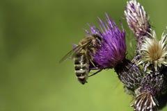 Biene auf Distelblume Lizenzfreie Stockbilder