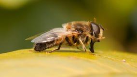 Biene auf einem Blatt Lizenzfreies Stockbild
