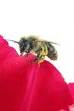 Biene auf einem Blumenblatt Stockbild