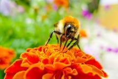 Biene auf einem Blumenmakroschuß stockfoto