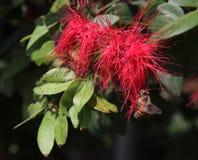 Biene auf einem Bottlebrushbaum lizenzfreie stockfotografie
