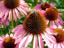 Biene auf einem coneflower lizenzfreie stockbilder