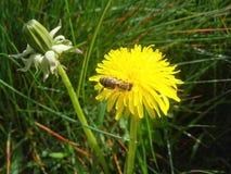 Biene auf einem Löwenzahn Lizenzfreie Stockbilder