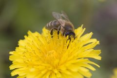 Biene auf einem Löwenzahn Stockbild