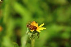 Biene auf einem Löwenzahn Lizenzfreies Stockfoto