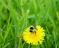 Biene auf einem Löwenzahn auf einem Gebiet in Deutschland lizenzfreies stockbild