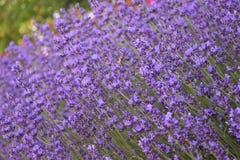 Biene auf einem Lavendelgebiet lizenzfreies stockbild