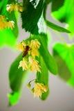 Biene auf einem Limettenbaum Stockfotos