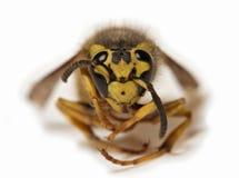 Biene auf einem weißen Hintergrund - extreme Nahaufnahme stockfotografie