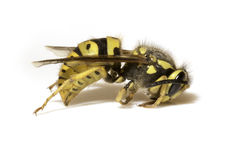 Biene auf einem weißen Hintergrund - extreme Nahaufnahme stockbild