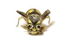 Biene auf einem weißen Hintergrund - extreme Nahaufnahme lizenzfreie stockfotos