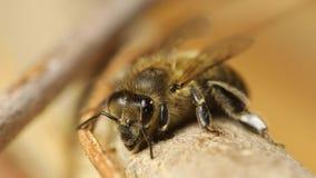 Biene auf einem Zweig stock video footage