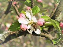 Biene auf einer Apfelblüte stockfotografie