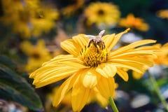 Biene auf einer Arnikablüte stockfoto